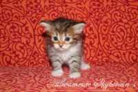 D6 - Brown tabby - Maschio