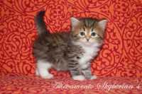 D6 - Brown tabby - Femmina