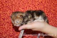 D7 - Brown golden tabby blotched - Maschio