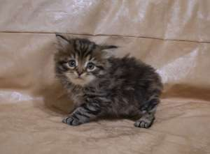F2 Maschio Brown Tabby Bloched