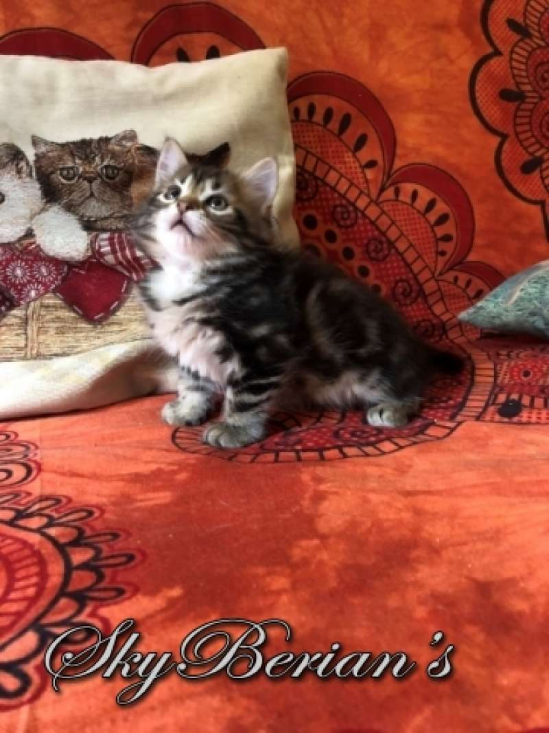 F8 Femmina Brown Tabby Blotched