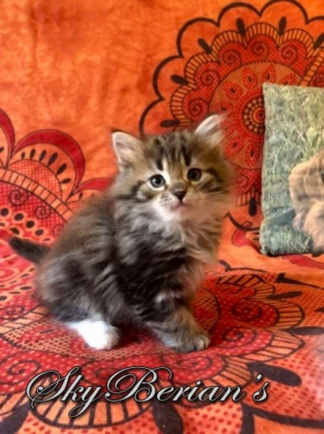 F 11 Femmina Brown Tabby Blotched & White