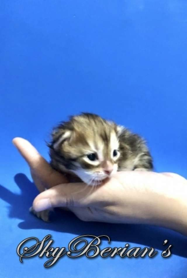 F6 Femmina  Brown Golden Tabby Blotched