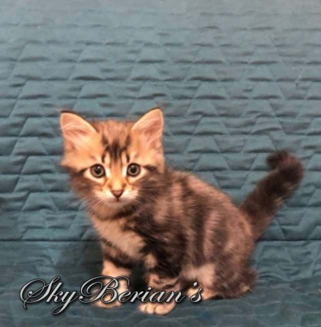 F8 Maschio Blue Golden Tabby Blotched